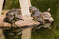 A group of turtles can be called a dole, and here a dole of red-eared sliders basks on a decorative fixture at the surface of a koi pond.