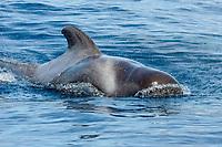 short finned pilot whale, Globicephala macrorhynchus, surfacing, La Gomera, Canary Islands, Spain, Atlantic Ocean