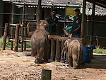 "Touching elephant story - <br /> <br /> Namal and Hercules (smaller of the two)  - two ""disabled"" baby elephants that have formed a special friendship at Elephant Transit home in Sri Lanka.<br /> Namal has a false leg after being shot- probably caught in crossfire by ivory poachers - he was rescued by rangers and taken to elephant hospital where he underwent life saving surgery. He was later fitted with a prosthetic leg.<br /> <br /> Hercules was caught in a trap unscrupulous pet hunters, but again was rescued by national park rangers before being captured. Sadly he  now has a deformed kneed due to his injuries.<br /> A ""transit home"" is different to an ""orphanage"" because it is planned to return all the elephants to the wild once they are strong enough. But whether these two will ever be strong enough remains to be seen. <br /> There are wild herds of elephants in Uda Walawe National Park in the south of the island to which the transit home is attached.<br /> <br />  Many of the other 20 or so elephants were rejected by their mothers or their mothers were killed by poachers. <br /> Hercules and Namal are led out before the main group to protect them from the scrum for milk feeding. The main bunch follows them out and the pair are moved to the centre of the compound for safety. <br /> After milk feeding, grasses are spread around for elephants to feed on where they jockey for the best pickings three times a day. <br /> Again Hercules and Namal are kept back and allowed to stay after the main bunch has been led out so they can get their feed.<br /> During the main feeding Namal, 10 months old,  is very nervous due to his plastic leg . But plucky Hercules, just four months, ventures into the main bunch to get a drink from a nearby pond. <br /> Heartbreakingly he stumbles and drops several times to one knee. In the end the step down to the pond proves too much for him and he gives up.<br /> On the back back through the crowd to his chum Namal, Hercules is knocked my another elephant and falls over. A crowd of elephants gathers around him and it is feared he"