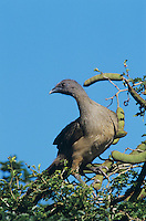 Plain Chachalaca, Ortalis vetula, adult on Ebony tree, The Inn at Chachalaca Bend, Cameron County, Rio Grande Valley, Texas, USA, May 2004