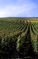 Vineyard in wine region of Rhine River in the wine fields of Bacharach, Germany