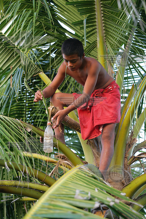 A boy tapping palm sap. Palm sap starts fermenting immediately after collection and turns into a mildly alcoholic palm wine within two hours. It can be further fermented or distilled to produce stronger alcoholic drinks.