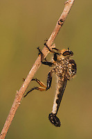 Robber Fly (Asilidae), adult, Rio Grande Valley, South Texas, USA