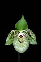 Paphiopedilum malipoense aka The Malipo Paphiopedilum or Jade Slipper Orchid. Rare species