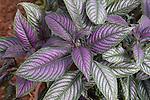 Tropical Shrub, Strobilanthes dyerianus