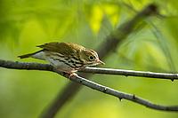 Ovenbird (Seiurus aurocapilla aurocapilla), a spring migrant to Central Park, New York City, New York.