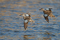 Blue-winged Teal (Anas discors), females in flight at the Salton Sea State Recreation Area, Mecca, California.