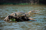 Yacare Caiman (Caiman yacare) at the edge of the Piquiri River, northern Pantanal, Brazil. Basking / gaping to regulate its body temperature (thermoregulation).