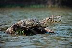 Yacare Caiman (Caiman yacare) at the edge of the Piquiri River, northern Pantanal, Brazil. Basking / gaping to regulate its body temperature (thermoregulation).