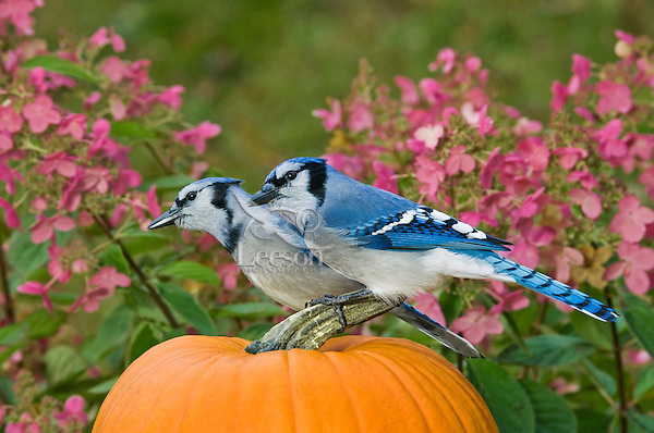 Blue Jay pair (Cyanocitta cristata) in autumn backyard garden resting on pumpkin. Nova Scotia. Canada.