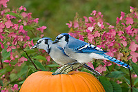 Blue Jay pair (Cyanocitta cristata) in autumn backyard garden resting on pumpkin. Nova Scotia. Canada.