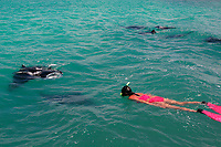reef manta ray, Mobula alfredi, feeding in lagoon, and woman snorkeler, Kiritimati or Christmas Island, Line Islands, Republic of Kiribati, Pacific Ocean