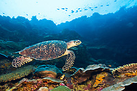 Hawksbill Sea Turtle, Eretmochelys imbricata, critically endangered species, Marovo Lagoon, New Georgia Islands, Solomon Islands, Pacific Ocean