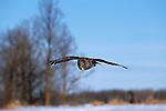 Great Gray Owl in flight.