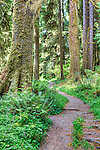 Hoh Rainforest Trail.   Olympic Mountains. Olympic National Park.  Olympic Penninsula, Washington.  Outdoor Adventure.