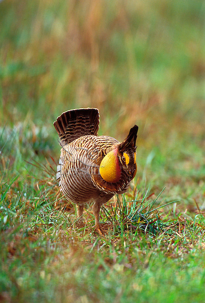 Bg365  Male Attwater's Prairie Chicken displaying.  Attwater Prairie Chicken National Wildlife Refuge, Texas.  March.