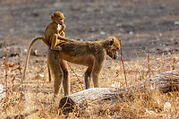 africa, Zambia, South Luangwa National Park,  Chacma Baboon,