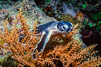green sea turtle, Chelonia mydas, hatchling, Sipadan Island, Borneo, Indonesia, Pacific Ocean