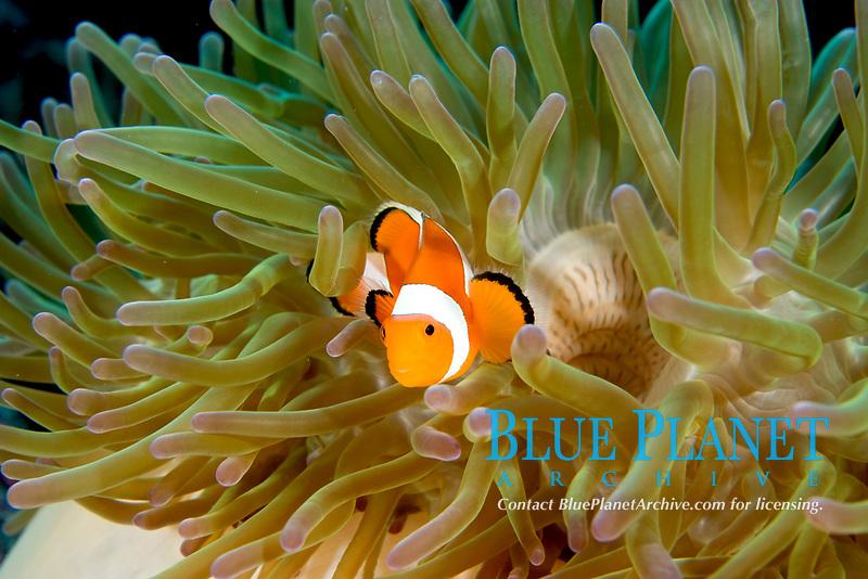 false anemonefish, amphiprion ocellaris