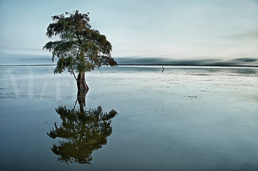 Lone cypress tree in water. Taxodium distichum