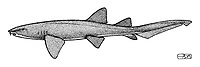 Nurse shark, Ginglymostoma cirratum, lateral view, pen and ink illustration.