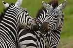 Plains zebras, Ngorongoro Conservation Area, Tanzania