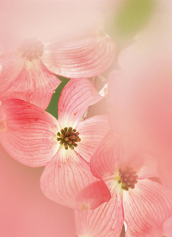 Red Dogwood blossoms. Eugene. Oregon