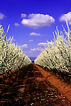 Almond orchard blooms near the east slopes of the Sierra Mountains