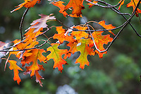Quercus rubra - Northern Red Oak tree in leaves in fall color; San Francisco Botanical Garden