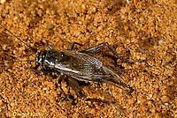 OR10-015f  Cricket - laying eggs, house cricket - Acheta domestica
