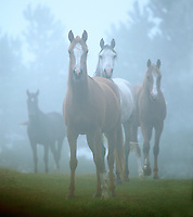 Arabian mares in fog.