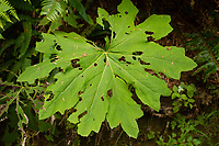 Devil's club (Oplopanax horridus), Kalaloch Beach 4, Olympic National Park, Washington, US