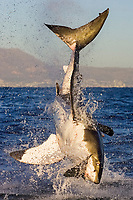 great white shark, Carcharodon carcharias, breaching to attack and seize a seal decoy, Seal Island, False Bay, South Africa, Atlantic Ocean