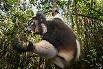 Adult Indri (Indri indri) feeding on fresh leaves / shoots in the rainforest canopy. Andasibe-Mantadia National Park, eastern Madagascar.