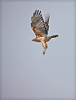 A Red Shouldered Hawk in flight, landing with feet down
