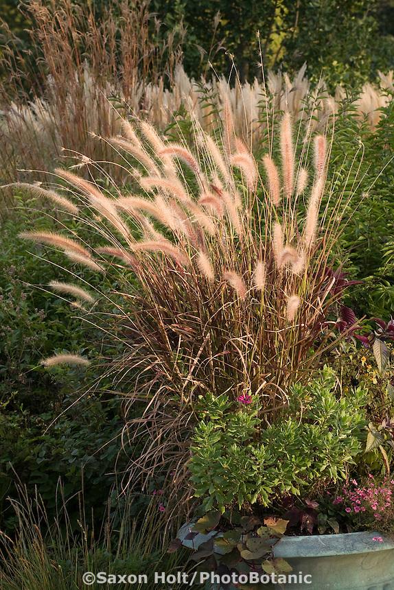 Flowering fountain grass, Pennisetum setaceum 'Rubrum' in container at Northwind Perennial farm, Wisconsin