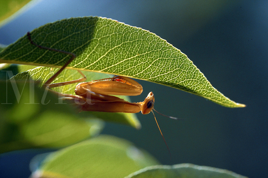 Praying mantis on a pear tree leaf