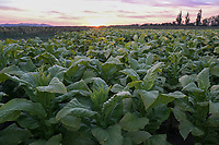 CROATIA, VIŠNJICA, tobacco farming / KROATIEN, VIŠNJICA, Tabak Anbau