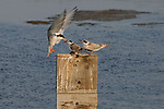 Tern Feeding Chicks 1, Bolsa Chica, CA.