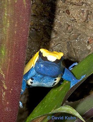 "1103-07nn  Dendrobates tinctorius ñ Dyeing Poison Arrow Frog ""Citronella Morph"" ñ Tincs Dart Frog © David Kuhn/Dwight Kuhn Photography"
