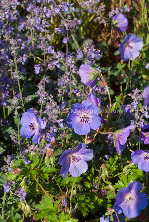 Geranium Rozanne ('Gerwat'), Nepeta 'Six Hills Giant' blue flowers two different types of perennial plants together combination