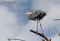 0111-0912  Great Blue Heron Perched in Tree, Ardea herodias © David Kuhn/Dwight Kuhn Photography