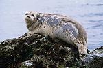 Harbor seal, Monterey Bay, California