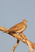 Adult Mourning Dove (Zenaida macroura). Starr County, Texas. March