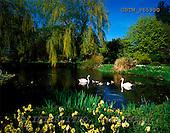 Tom Mackie, FLOWERS, photos, Swans & Cygnets in Spring, Gooderstone, Norfolk, England, GBTM965990,#F# Garten, jardín