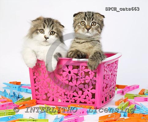 Xavier, ANIMALS, cats, photos, SPCHcats663,#A# Katzen, gatos