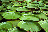 Belem, Brazil. Vitoria Regia (Victoria amazonica); giant lily pads floating on the water. Amazon.