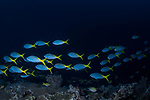 Blue and Yellow Fusilier school (Caesio teres)