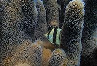 Banded Butterflyfish in a pillar coral at Jardines de la Reina, Cuba