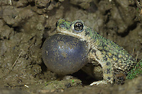 Western Green Toad, Bufo debilis insidior, male at night calling, Portal, Chiricahua Mountains, Arizona, USA, August 2005